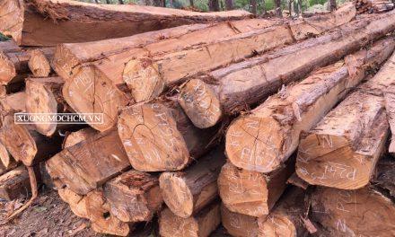 Gỗ cà chít là loại gỗ gì